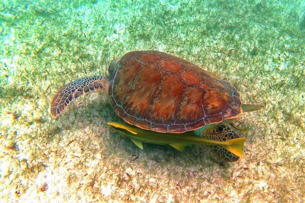 Żółw z rybkami